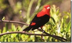 Scarlet Tanager - Large